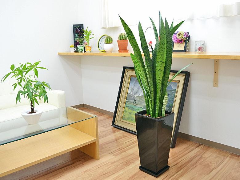 観葉植物 サンスベリア・ゼラニカ ロングスクエア陶器鉢植え BIGサイズ ブラック陶器鉢イメージ