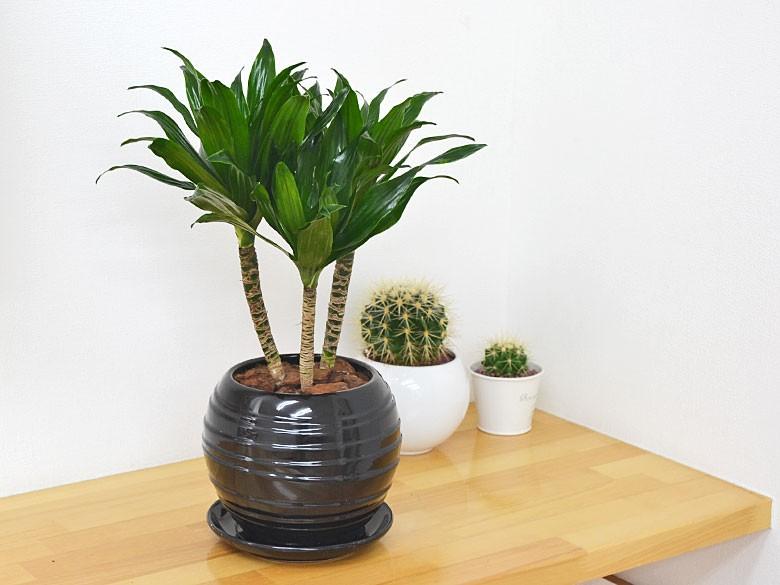観葉植物 ドラセナ・コンパクター ボール型陶器鉢植え 5号 ブラック陶器鉢イメージ