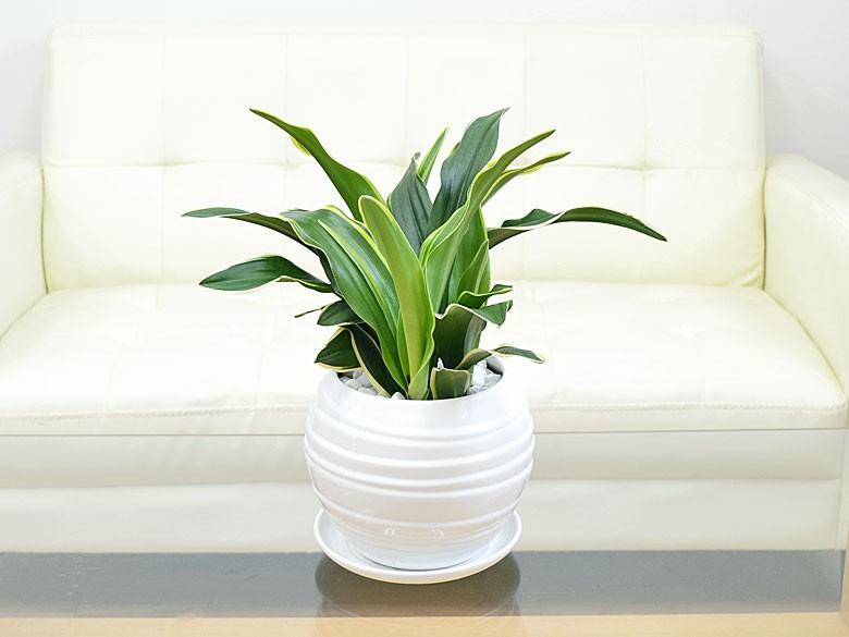 観葉植物 万年青(オモト) 甲竜 ボール型陶器鉢植え 設置イメージ