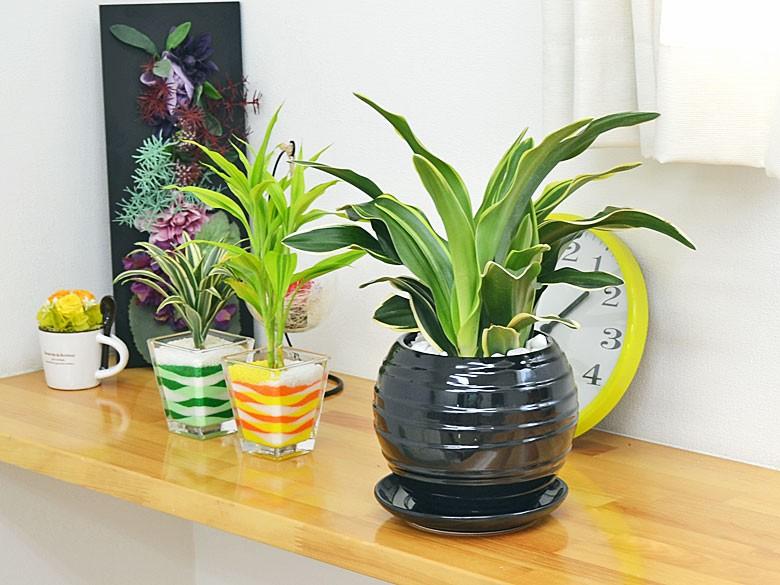 観葉植物 万年青(オモト) 甲竜 ボール型陶器鉢植え ブラック陶器鉢イメージ