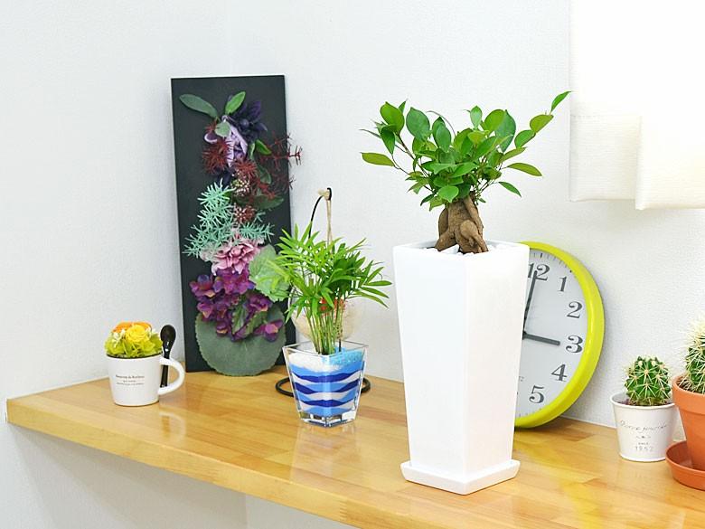 観葉植物 ガジュマル スクエア陶器鉢植え イメージ