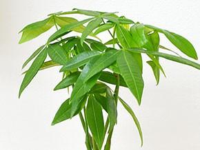 ミニ観葉植物 編み込みパキラ ハイドロカルチャースタイリッシュ陶器鉢付き 葉の拡大