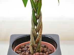 ミニ観葉植物 編み込みパキラ ハイドロカルチャースタイリッシュ陶器鉢付き 設置イメージ