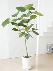 観葉植物ゴムの木の仲間