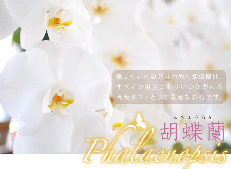 胡蝶蘭(phalaeropsis)優雅な花の姿が魅力的な胡蝶蘭はすべての用途においてお使いいただける高級ギフトとして最適なお花です。