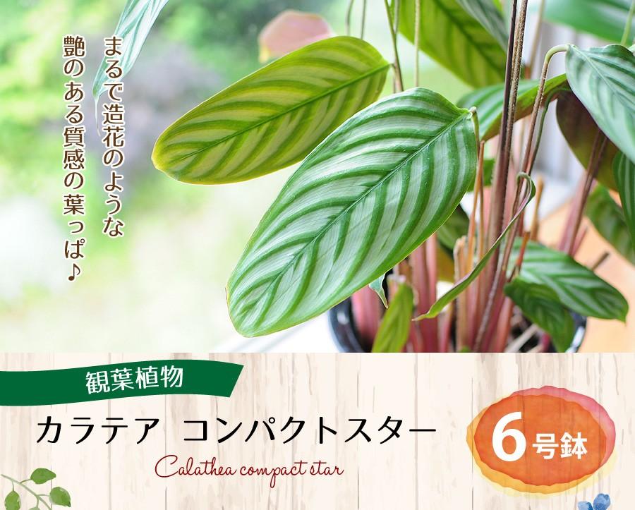 カラテア コンパクトスター 6号鉢 観葉植物