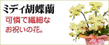 胡蝶蘭 ミディ系 取り扱い商品一覧へ