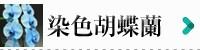 染色胡蝶蘭