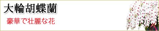 胡蝶蘭 大輪 取り扱い商品一覧ページへ