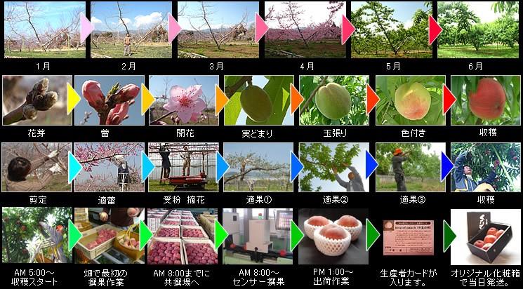 桃の成長と作業