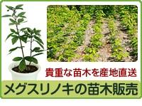 貴重な苗木を産地直送 メグスリノキ苗木販売