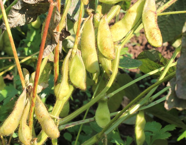 有機栽培黒豆茶