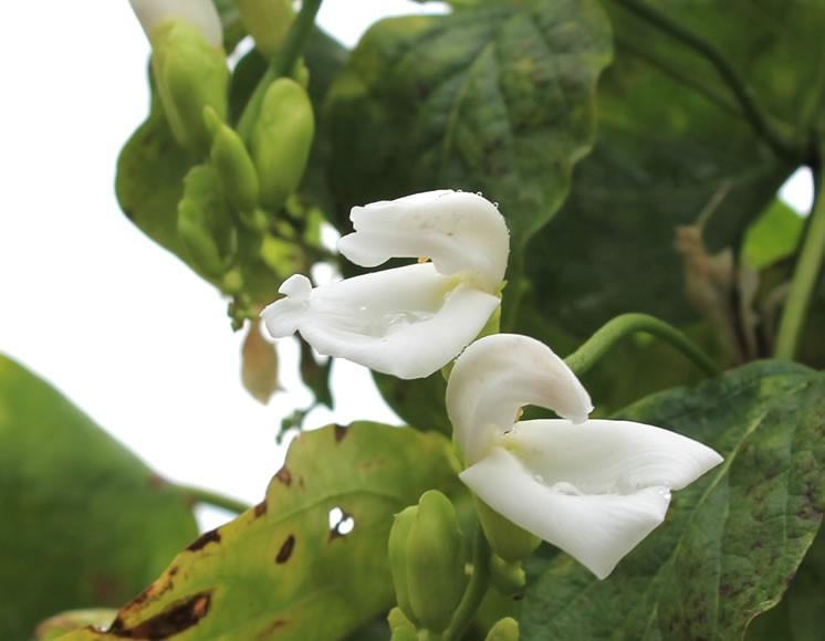 白なた豆の花