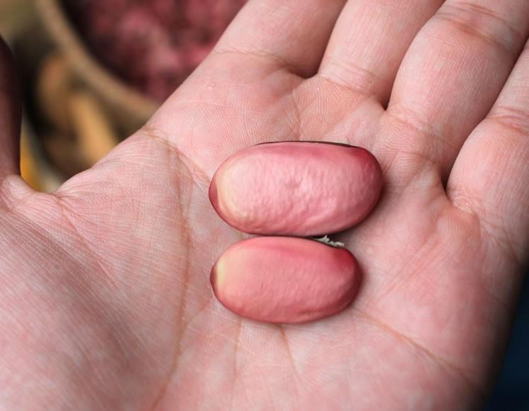ぷっくりとした大きな赤なた豆