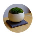 ヤマゴケ(丸白豆鉢)