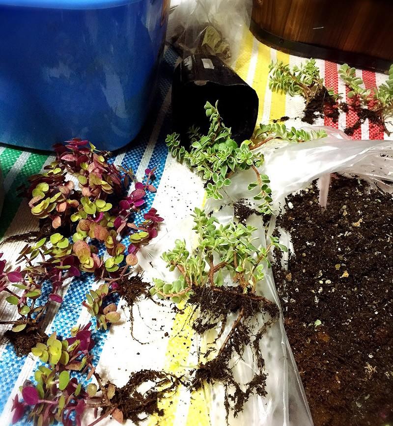 多肉植物の寄せ植え4