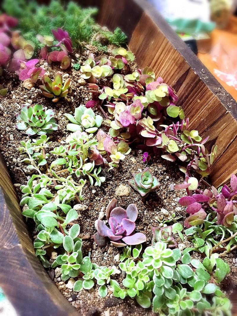 多肉植物の寄せ植え5