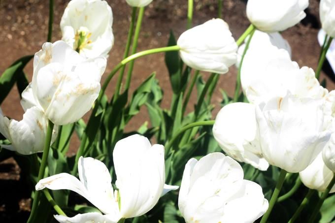 チューリップ球根 雪うさぎ (5球セット)  球根 チューリップ 秋植え 栽培 花壇 趣味 園芸 キュウコン 白 ホワイト 秋に植える 春に咲く ガーデニング 庭 ベランダ