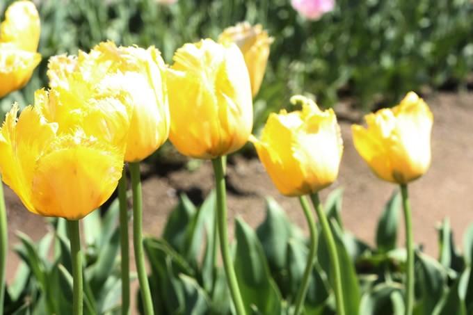 チューリップ球根 クリスタルスター (5球セット)  球根 チューリップ 秋植え 栽培 花壇 趣味 園芸 キュウコン 黄色 イエロー 秋に植える 春に咲く ガーデニング 庭 ベランダ