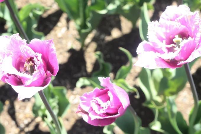 チューリップ球根 ブルーヘロン (5球セット)  球根 チューリップ 秋植え 栽培 花壇 趣味 園芸 キュウコン 紫 パープル 秋に植える 春に咲く ガーデニング 庭 ベランダ
