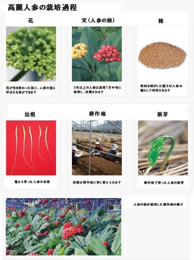 高麗人参の栽培過程