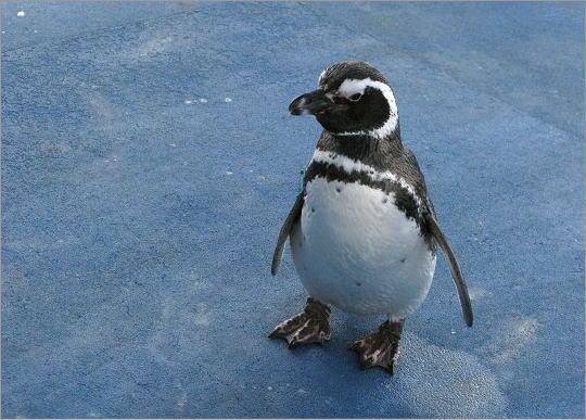 能登島水族館のペンギン