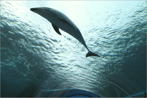 能登島水族館のイルカ