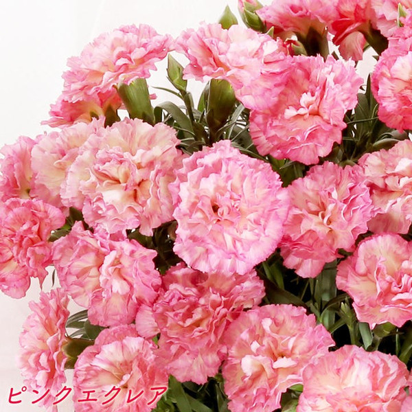 母の日 母の日ギフト2019 花 カーネーション 6号 母の日ギフト2019 母 プレゼント [早割] [19母]|glife-y|05