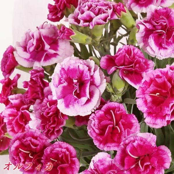 母の日 母の日ギフト2019 花 カーネーション 6号 母の日ギフト2019 母 プレゼント [早割] [19母]|glife-y|07