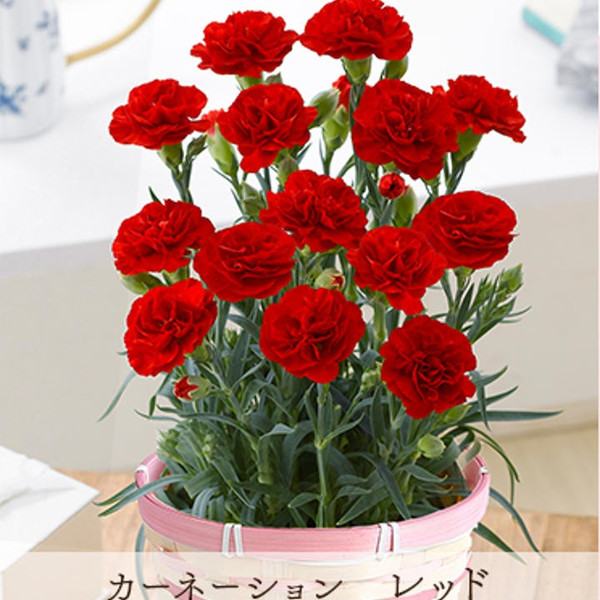母の日 ギフト プレゼント カーネーション 鉢植え 花とスイーツ スイーツ セット お菓子セット 花 母 [19母]:予約品|glife-y|19