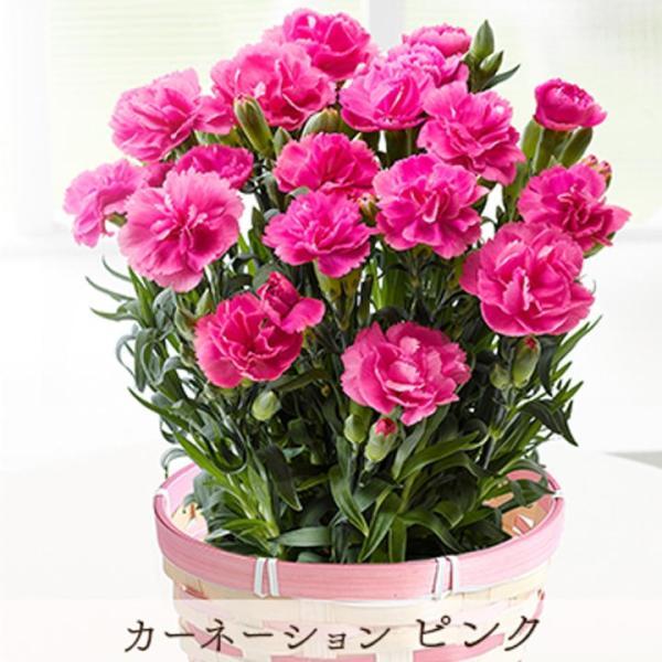 母の日 ギフト プレゼント カーネーション 鉢植え 花とスイーツ スイーツ セット お菓子セット 花 母 [19母]:予約品|glife-y|18