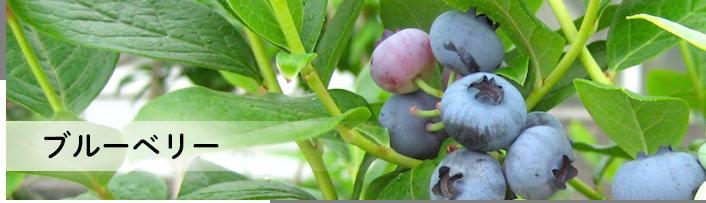 ブルーベリー 苗木