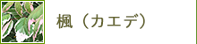 楓(カエデ)