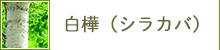 白樺(シラカバ)