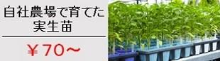 野菜苗70〜