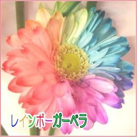七色花弁のガーベラ レインボーガーベラ