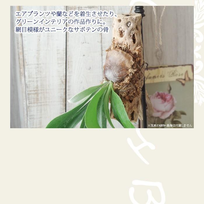 エアプランツや蘭などを着生させたり、グリーンインテリアの作品作りに。網目模様がユニークなサボテンの骨。