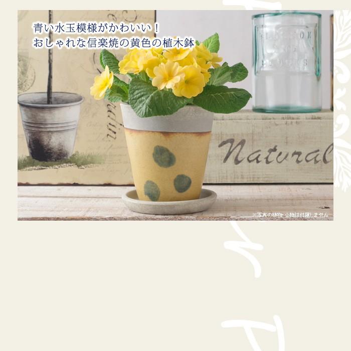 青い水玉模様がかわいい!おしゃれな信楽焼きの黄色の植木鉢