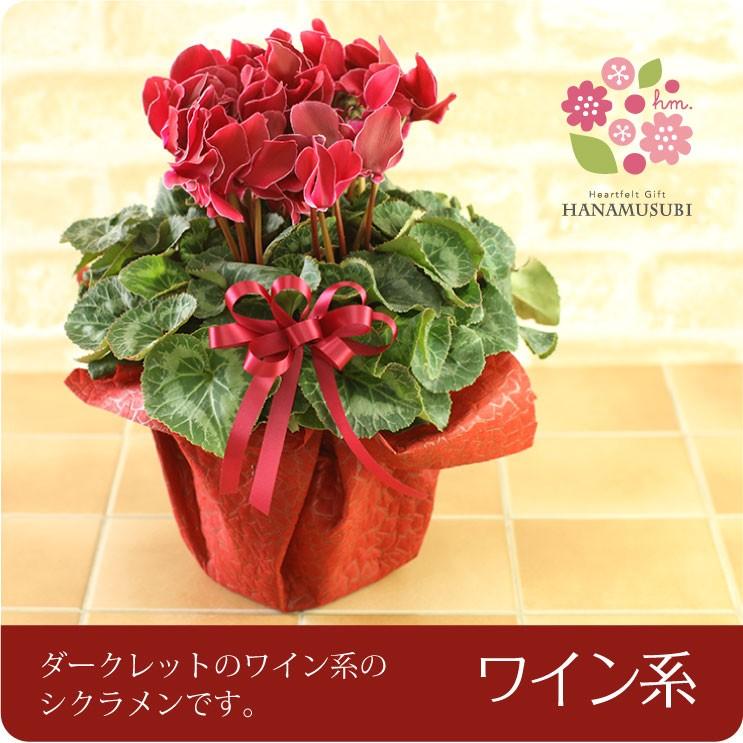 シクラメン 6号 鉢花