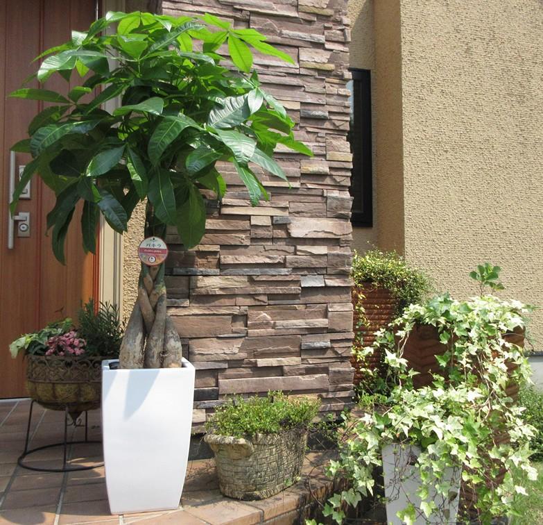 パキラは人気の観葉植物