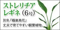 ストレリチアレギネ(小)