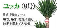 ユッカ(8号)