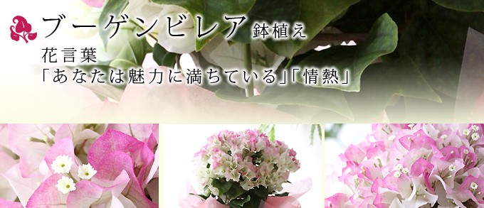 ブーゲンビレア鉢植え【送料無料】