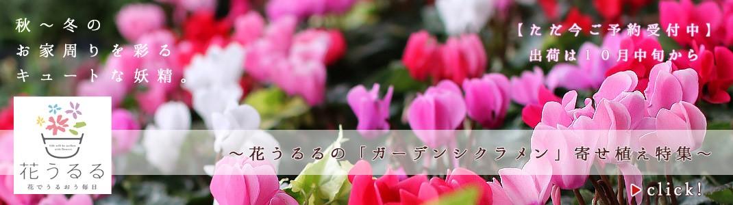 花うるるの「ガーデンシクラメンのハンギング&寄せ植え特集」