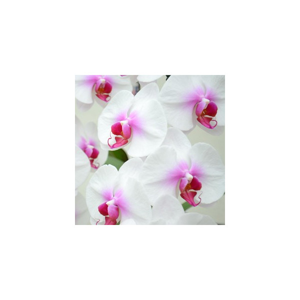 胡蝶蘭 大輪 1本立ち9輪以上 つぼみ込み胡蝶蘭 ギフト お歳暮 プレゼント お祝い 開院 開店 開店祝い 誕生日|hanayaka|13