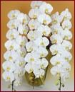 胡蝶蘭 3本立ち48輪