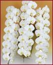 胡蝶蘭 3本立ち51輪
