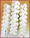 胡蝶蘭 3本立ち54輪