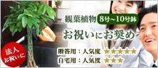 観葉植物8号〜10号鉢