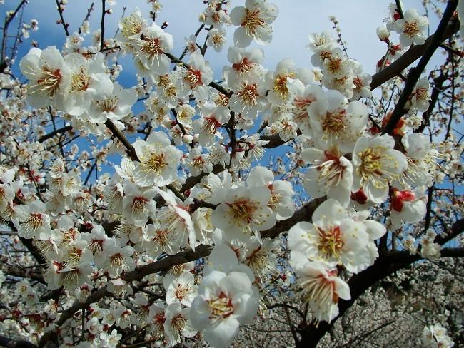 南高梅の開花